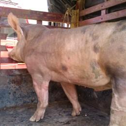 Porcicultura en Colombia