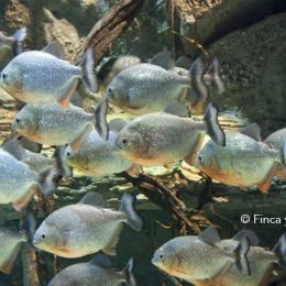 El proceso de piscicultura