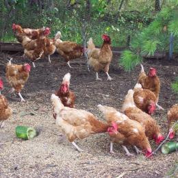 Buenas Prácticas Pecuarias en producción avícola de carne