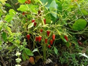 pepper_crop_paprika_pods