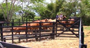 vacas, ganado