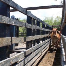 Inseminación artificial en ganado