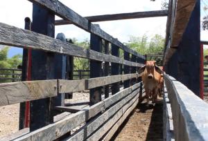inseminación artificial ganado