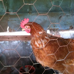 Beneficios de tener gallinas en la finca