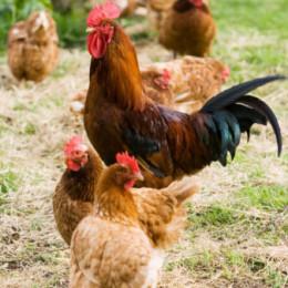 El alimento para las gallinas de la finca